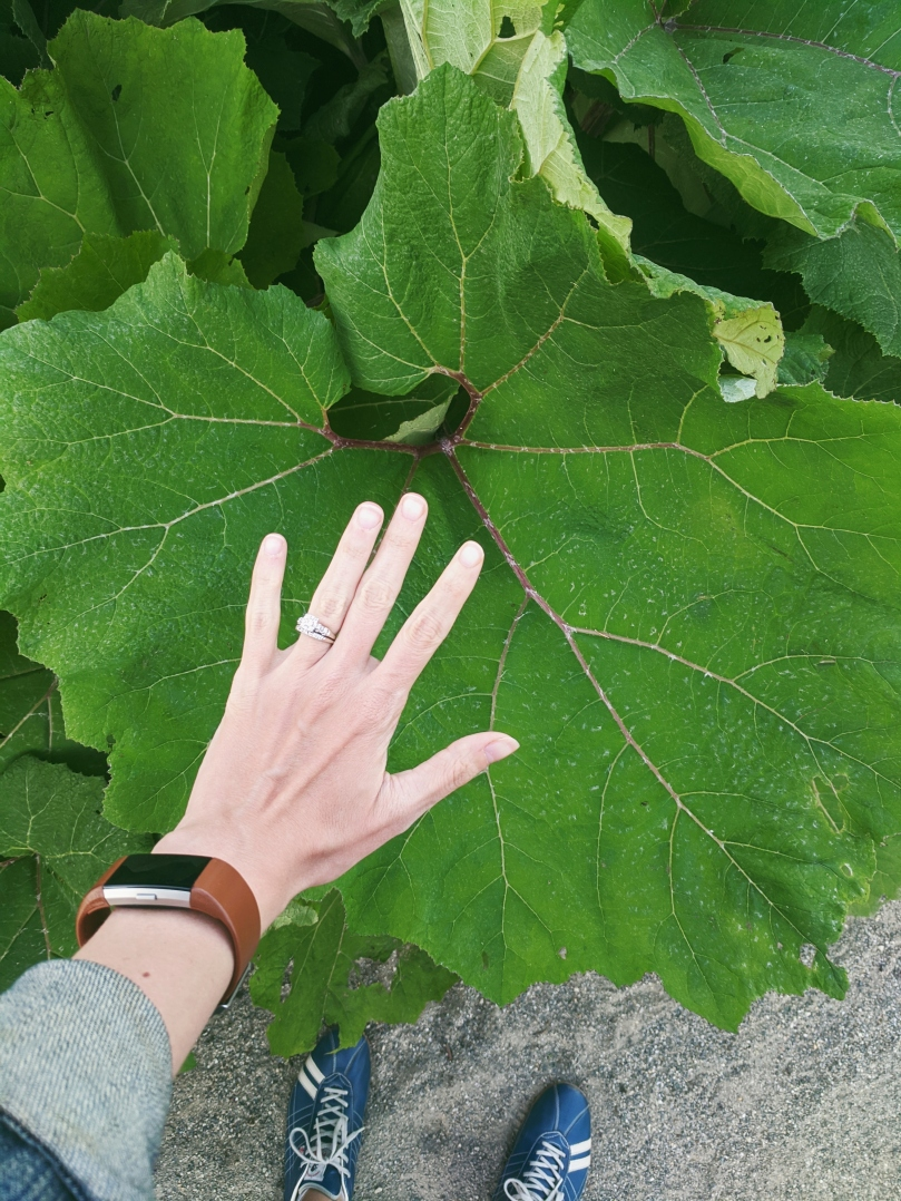 My hand held up in front of a massive butterbur leaf