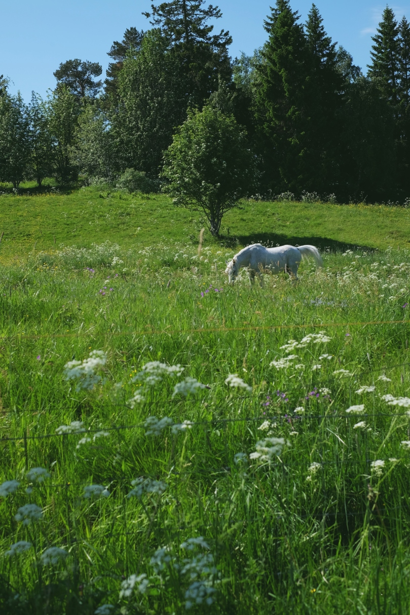 A white horse grazes in a field of green grass. Wildflowers grow by a fence in the foreground and deeper green trees sit in the background.