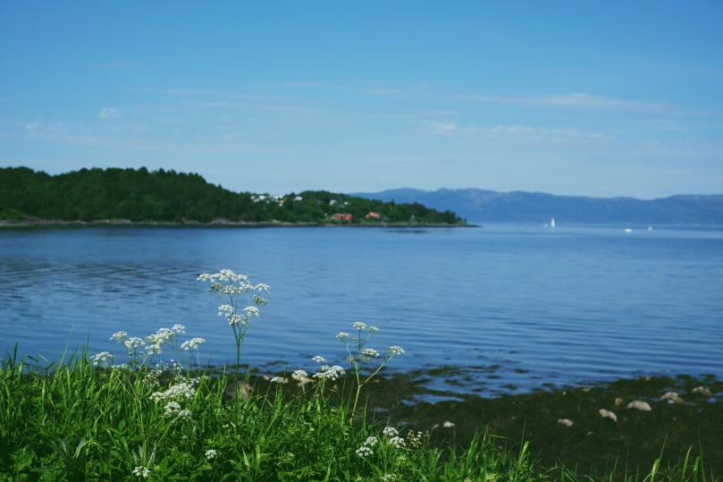 Trondheim fjord in the summer sunshine, with sailboats on the blue water and flowering cow parsley in the foreground