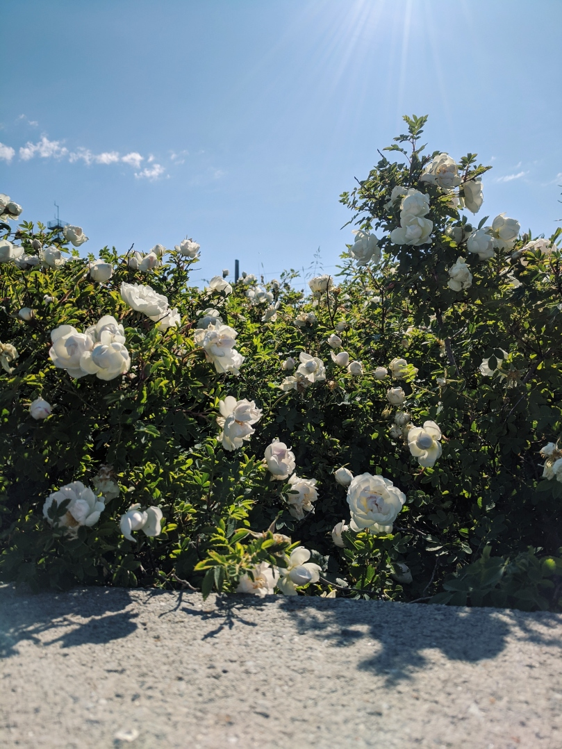 A wild-looking rose bush with white blossoms blooms in the sunshine